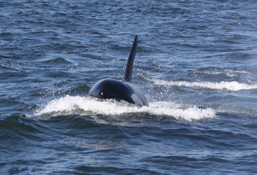 Transient Orca 0410114 by OrcinusPacifica