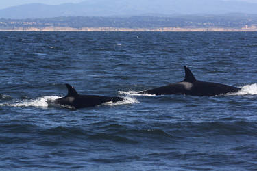 Transient Orcas 0410116 by OrcinusPacifica