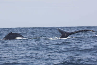 Humpback Whales 0530115 by OrcinusPacifica