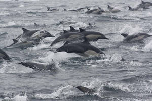 Long Beaked Dolphins 0709111 by OrcinusPacifica