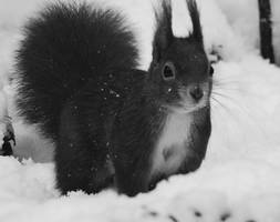 Snow squirrel by Kassih