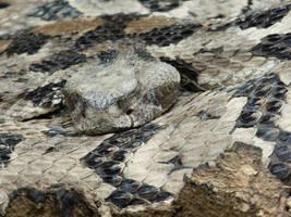 Timber rattlesnake by RonTheTurtleman