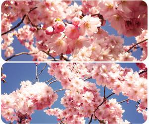 Sakura by XpopsicleX