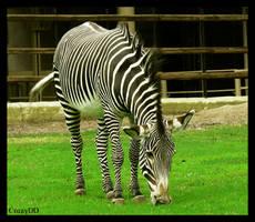 zebra by CrazyDD