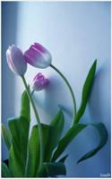tulip by CrazyDD