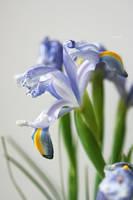 iris by CrazyDD