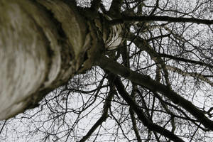 Birch Tree 03 by Kitsch-Craft