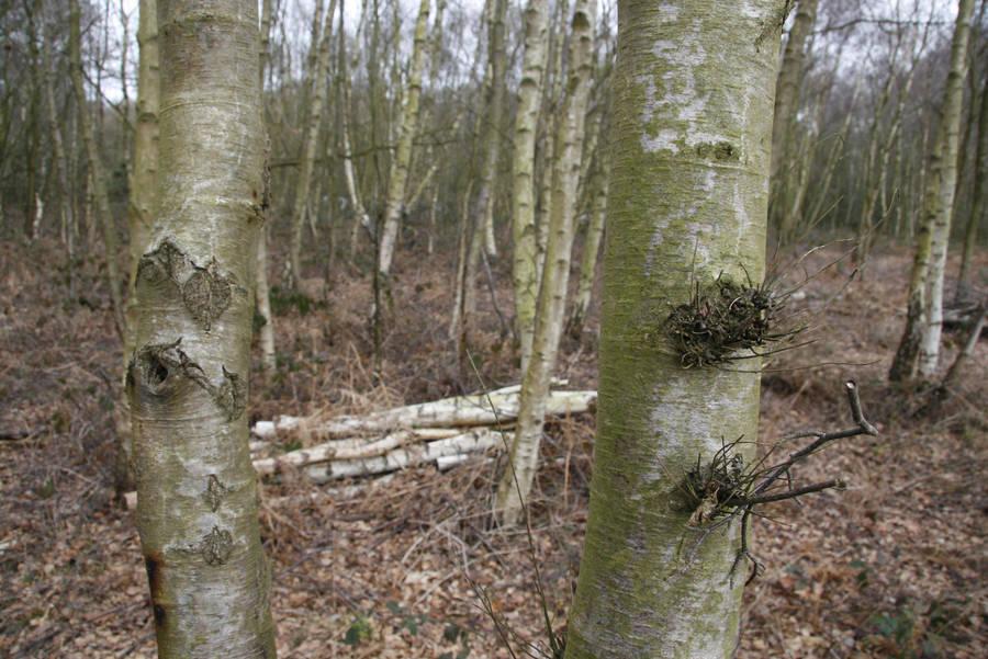 Birch trees by Kitsch-Craft