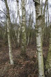 Birch Trees 02 by Kitsch-Craft