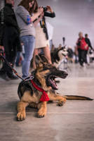 Eurasia 2015 - german shepherd puppy by Kelshray-photo