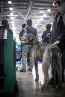 Eurasia 2015 - irish wolfhound by Kelshray-photo