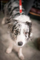 Eurasia 2015 - border collie by Kelshray-photo