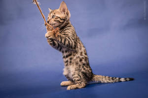 Bengal kitten - catch! by Kelshray-photo
