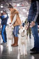 Russia 2015 - husky by Kelshray-photo