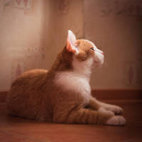 Ginger4 by Kelshray-photo