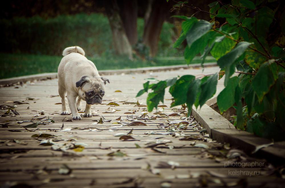 Pug by Kelshray-photo
