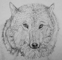 Wolf Drawing by Willis45