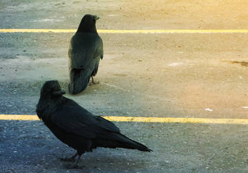 Ravens In A Parking Lot by Reilune