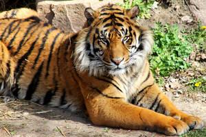 Tiger by ToryHartley