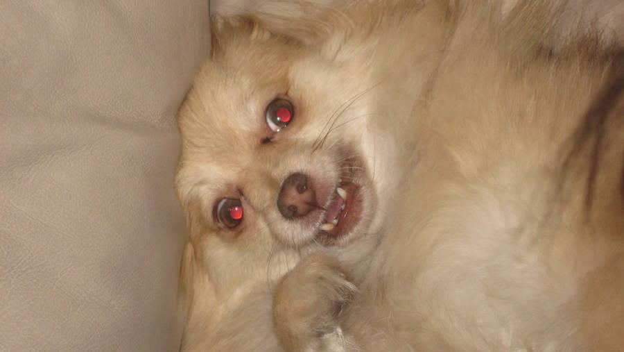 Evil Pomeranian By Setsback On Deviantart