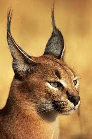Caracal by Europe45