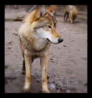 Grey Wolf by Nojjesz