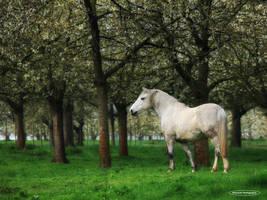 A proud Stallion by lichtschrijver