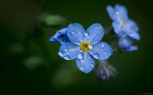 Forget-me-not by AdrianGoebel