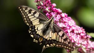 Swallowtail by AdrianGoebel