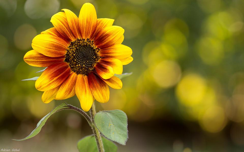 Sunflower by AdrianGoebel