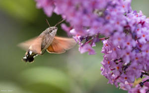 Hummingbird hawk-moth by AdrianGoebel