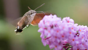 Hummingbird hawk-moth by AdrianGoebel