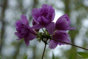 Purple Flower by OraclePhoenix