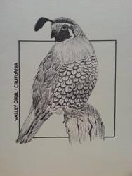 Valley quail - California by BattleRager
