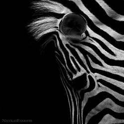 Zebra II by NicolasEvariste
