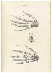 Vintage Human Skeletal 2 by Bnspyrd