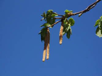Hazelnut Tree by crazyandmuttering