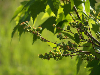 Blueberries by crazyandmuttering