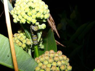 Monarch Caterpillar by crazyandmuttering