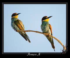 2 European bee-eater by AMROU-A