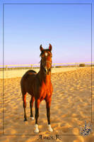 Al-3aredh - Arabian horse by AMROU-A