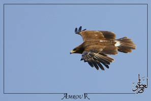 golden-eagle by AMROU-A