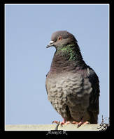 Pigeon by AMROU-A