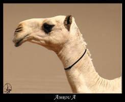 bwandcol-camel by AMROU-A