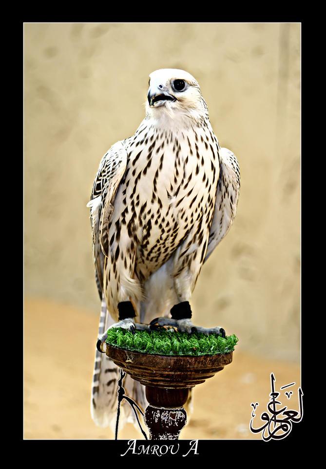 A falcon by AMROU-A