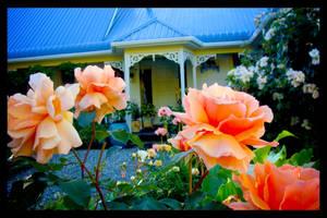 Orange Flower Roses 001 by naikmichel