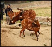 Bongo Stripes by loveforRuka