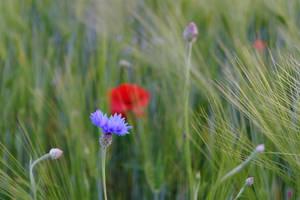cornflower and poppy by MaryONE22