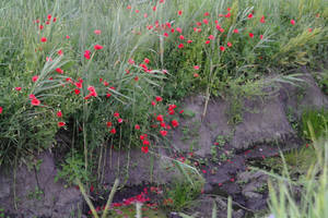 poppies by MaryONE22