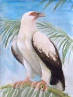 Palm Nut Vulture by Stalcry